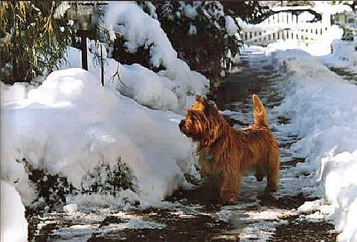 Cairn Terrier Zucht Allerleirauh